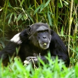 Schimpansenmann Sebastian