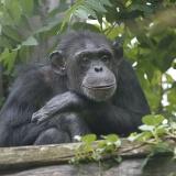 Schimpans (39)