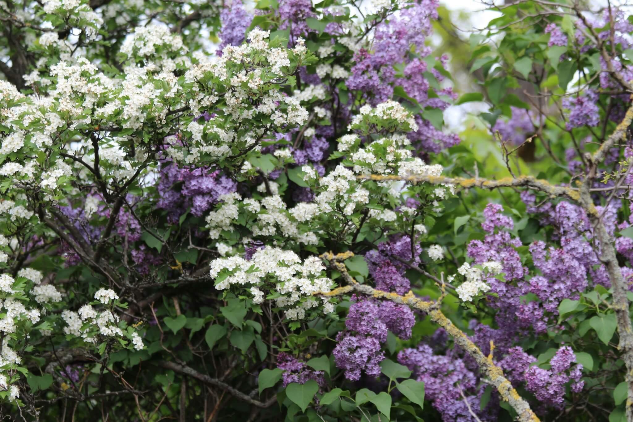 Fliederblütenzeit Sinfonie Aus Weiß Und Violett