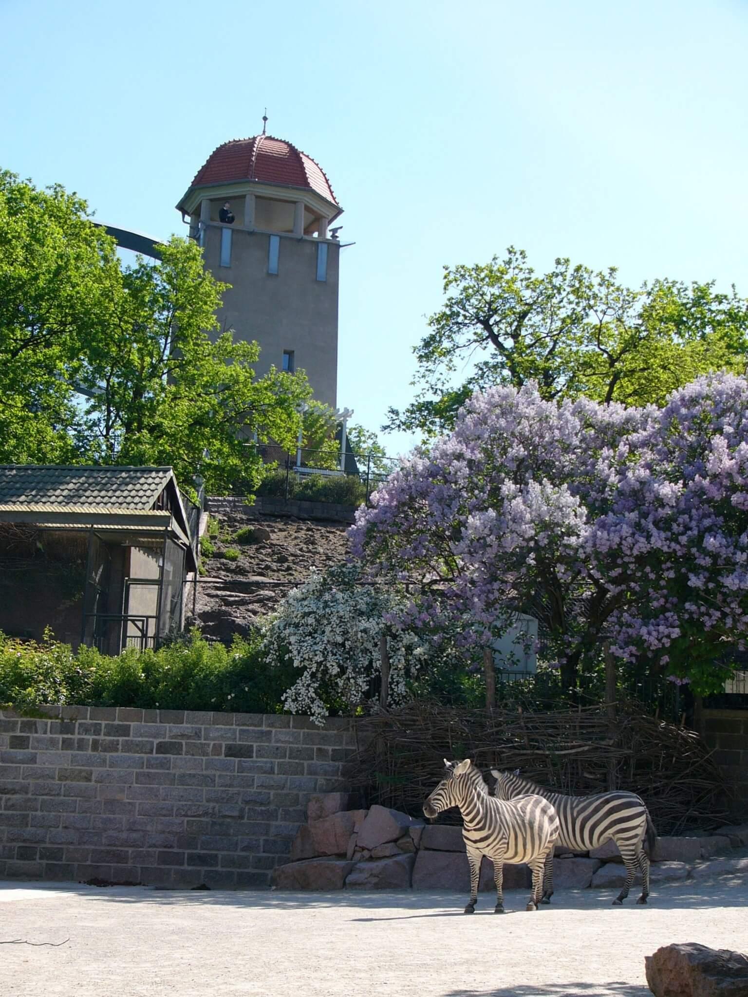 Fliederblütenzeit Zooturm Und Zebraanlage