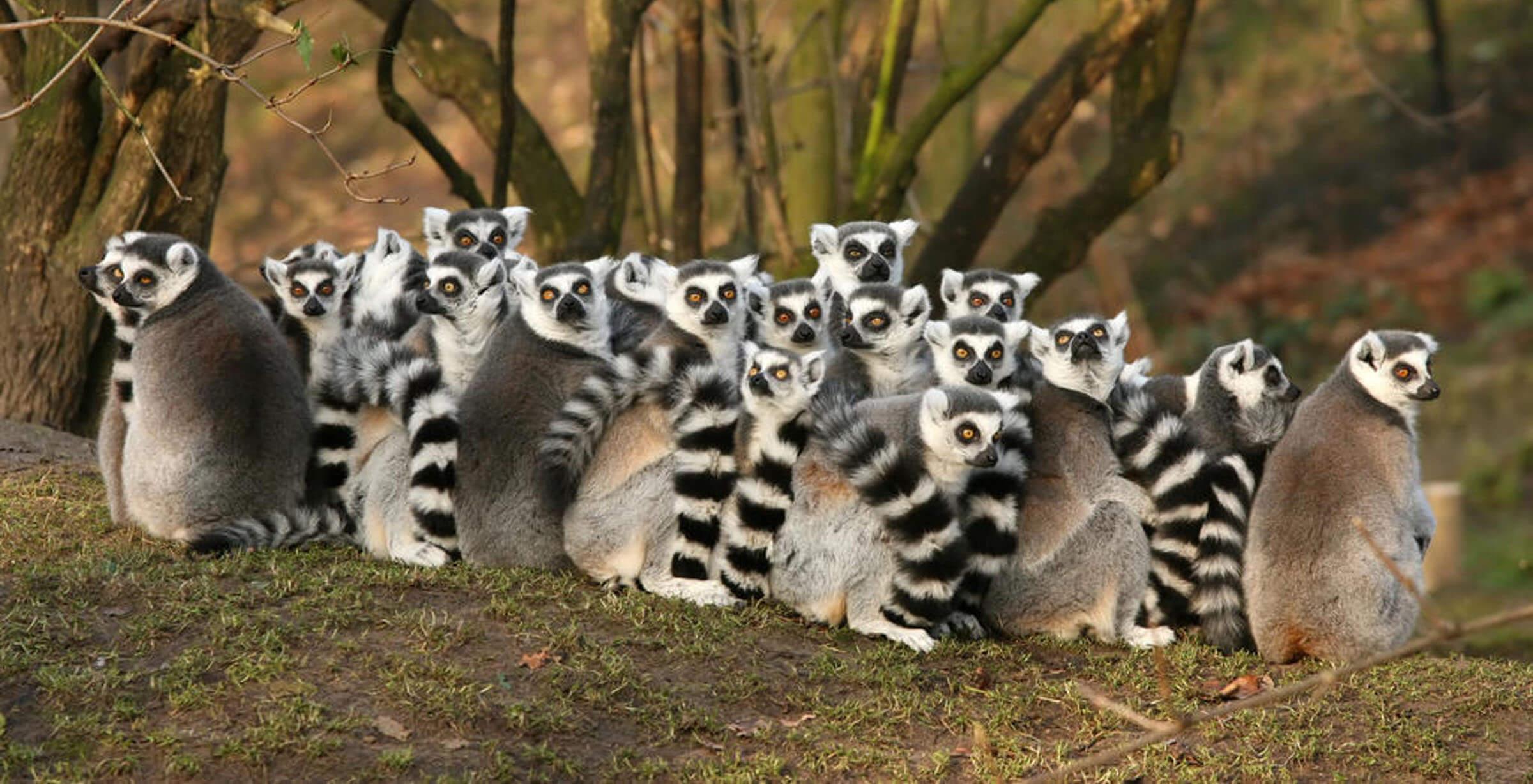 Madagaskar Lemuren