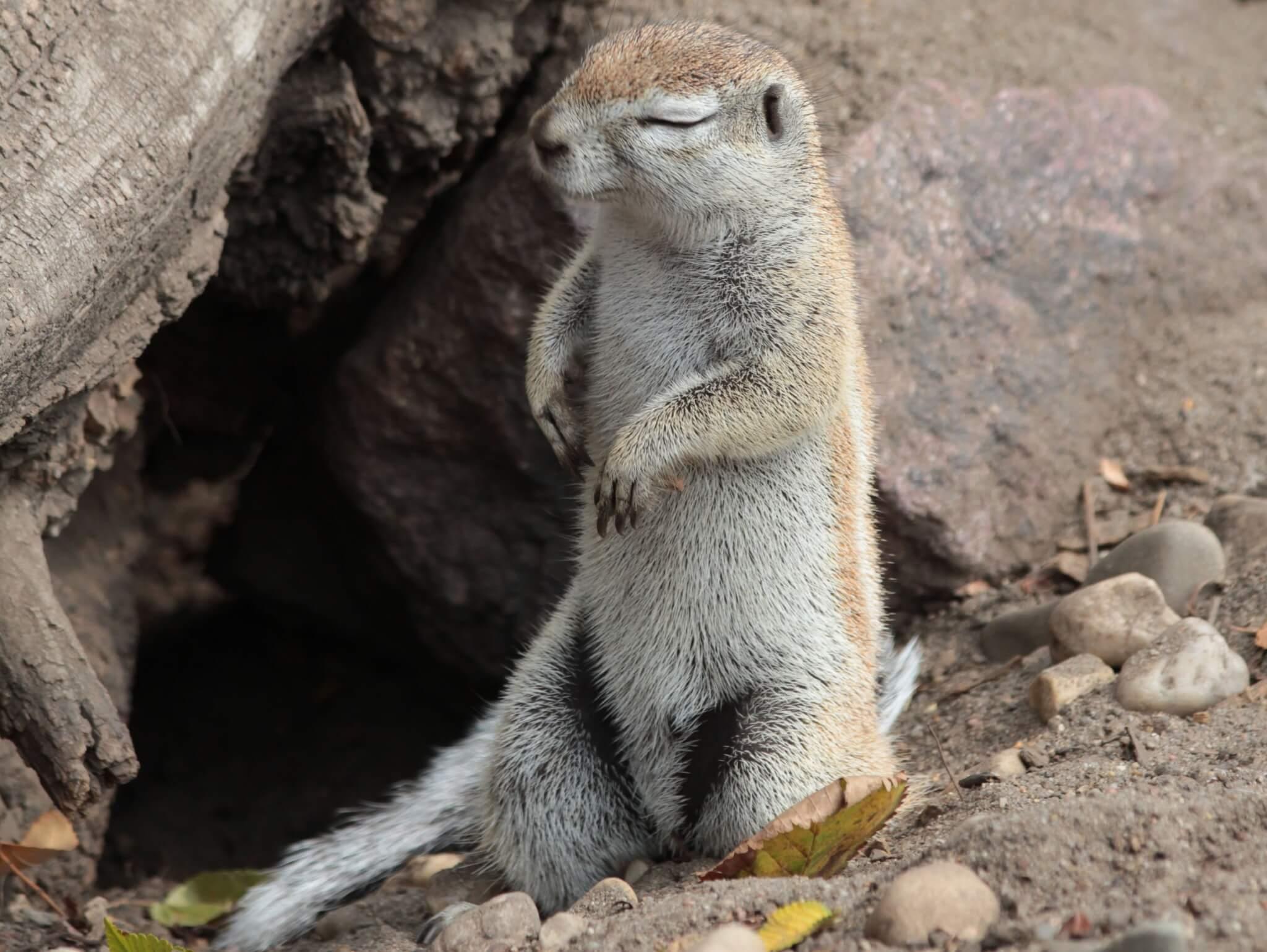 Neuankünfte Im Bergzoo – Kap Borstenhörnchen