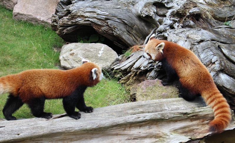 Pandanachwuchs Artikelbild 2
