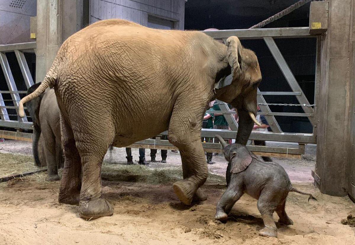 Artikelbild 2 Elefantengeburt – Tana Mit Jungtier